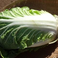ボロボロ外葉でも中身はキレイな白菜