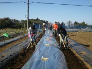 トウモロコシの保温栽培