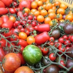 色々な品種のトマト