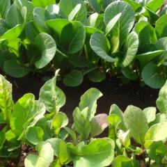 小松菜、ルッコラの若葉
