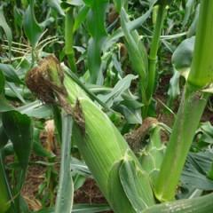 収穫時期のトウモロコシ